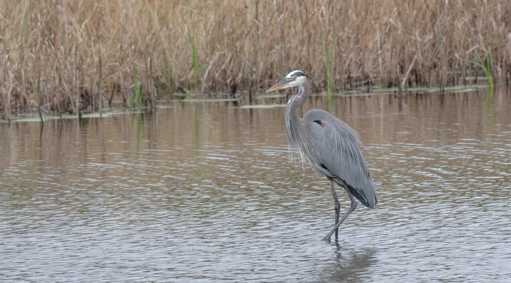 Heron In A Marsh