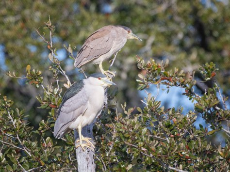 Juvenile / Adult Night Herons