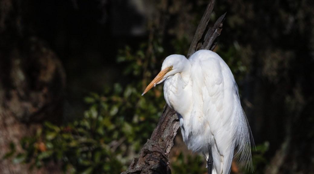 A Bridal Feather, Egret