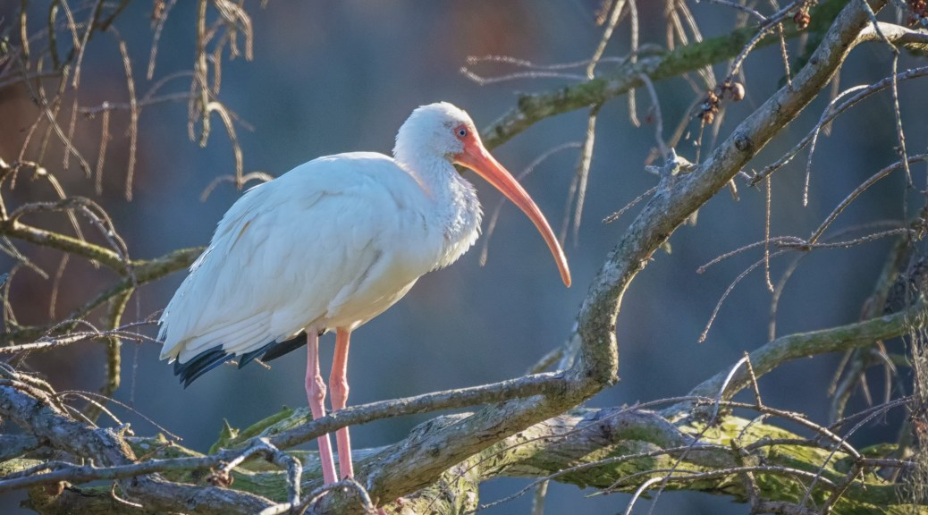 Ibis Settling In For The Night