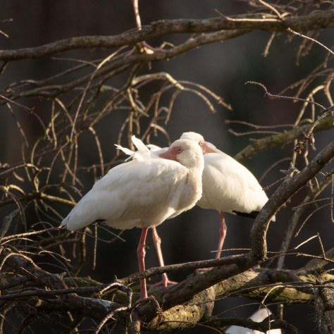Ibis In A Bald Cypress