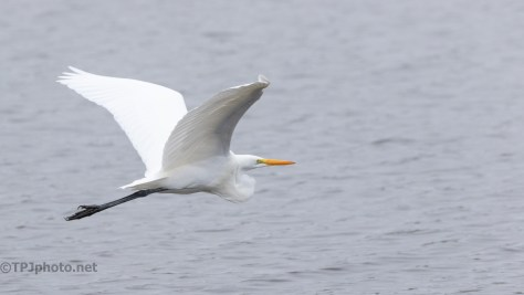 Great Egret, Donnelley WMA