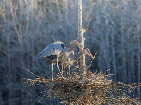 A Greeting, Great Blue Herons