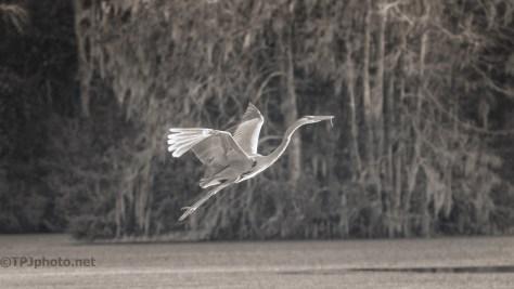 Great Blue Heron - Monochrome