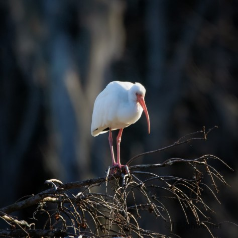 White Ibis, Cypress Tree