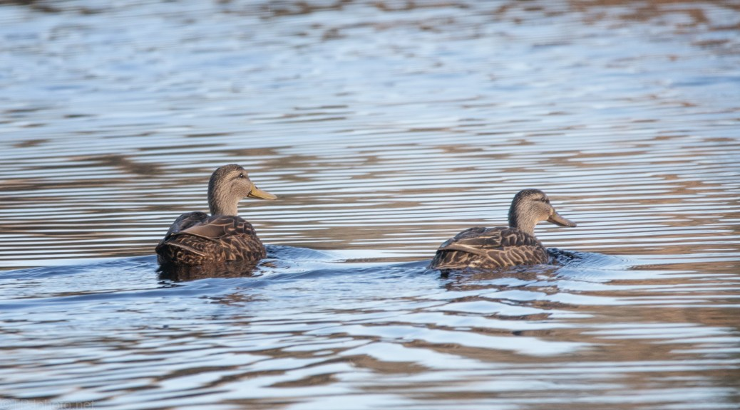 Mottled Ducks (?)