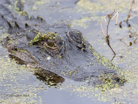 Just Fives Minutes Ago... Alligator