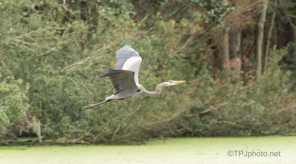Returning To The Rookery, Heron