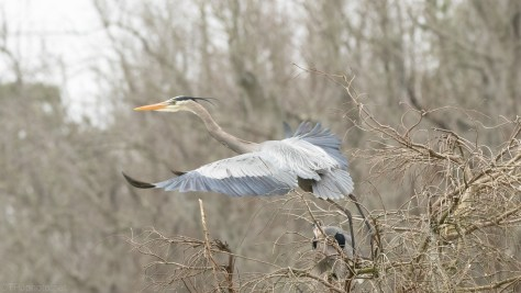 To The Air, Great Blue Heron