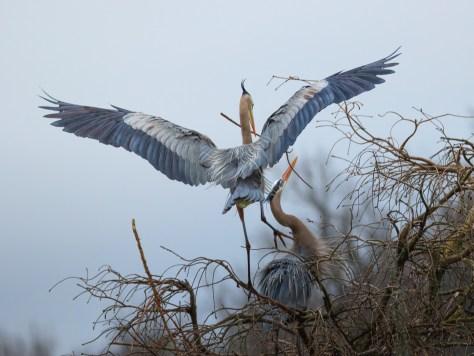 Pair, Great Blue Heron