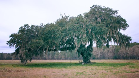 Live Oak Tree, Spanish Moss
