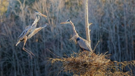 In A Rookery, Herons