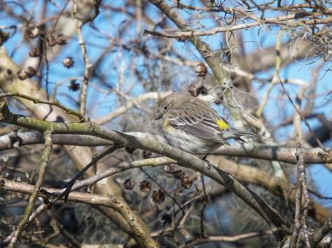 Yellow-rumped Warbler Series
