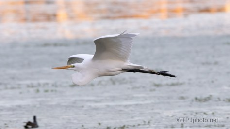 Low And Close, Great Egret