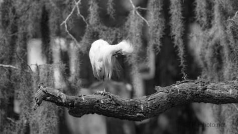 Snowy Egret, Monochrome