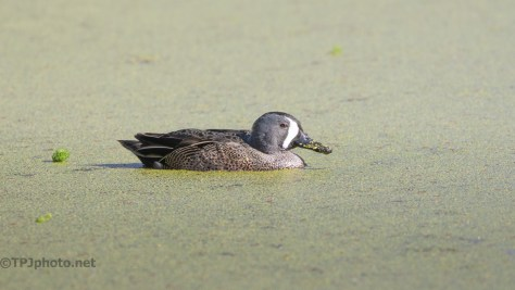 Calm Blue-winged Teals