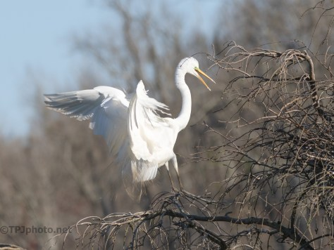 Egret Makes A Show Of Visiting