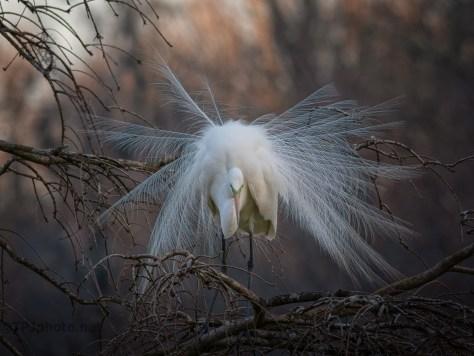 Egrets Have Arrived