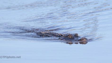 A Visitor, Alligator