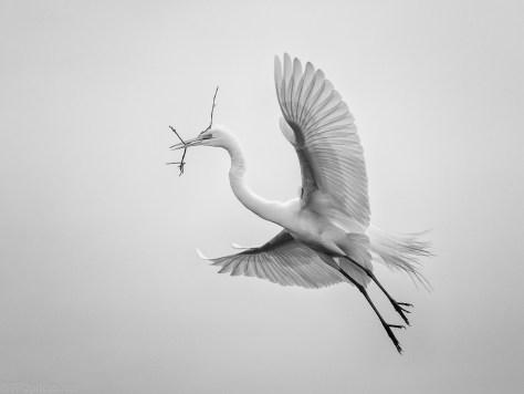 Monochrome Egret