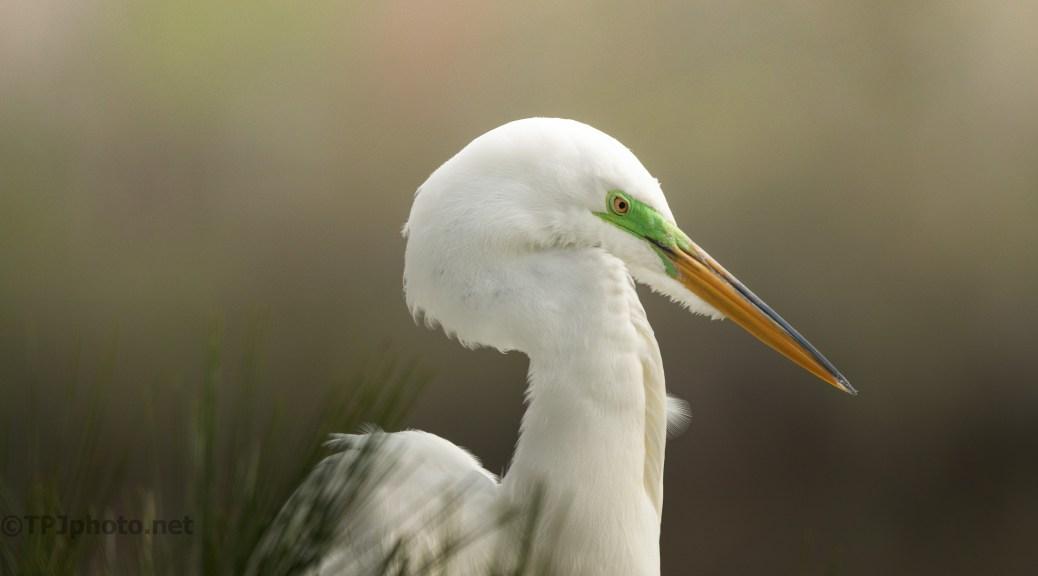 Great Egret Breeding Colors