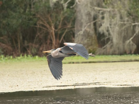 Swamp Fly By, Great Blue