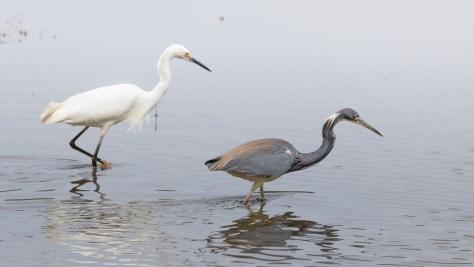 Playing Nice, Egret And Heron