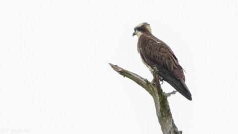 In The Rain, Osprey