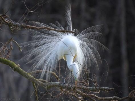 Dancing Great Egret
