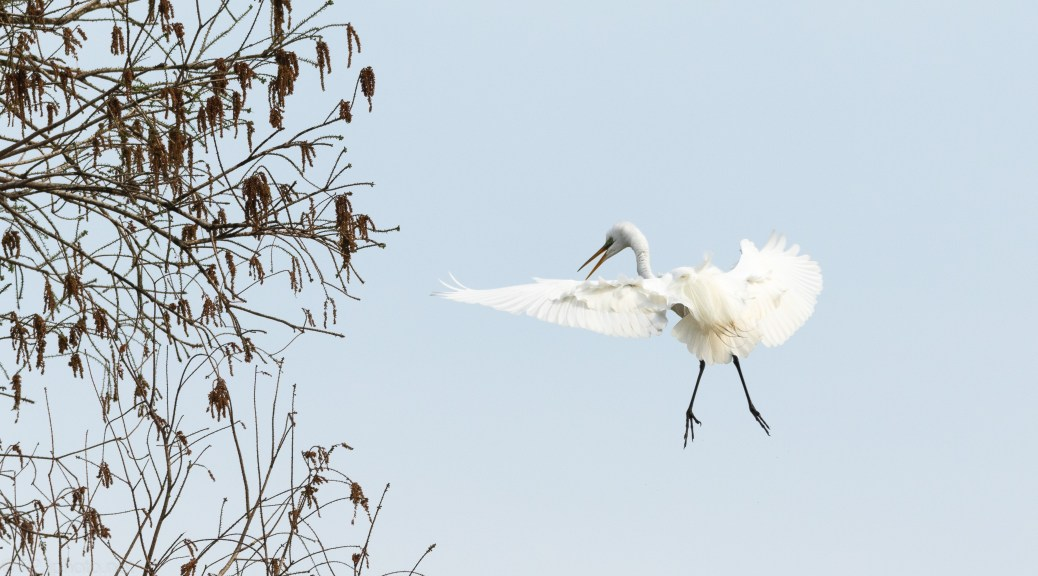 Egret Looking To Land