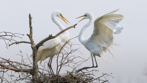 Great Egrets At A Nest