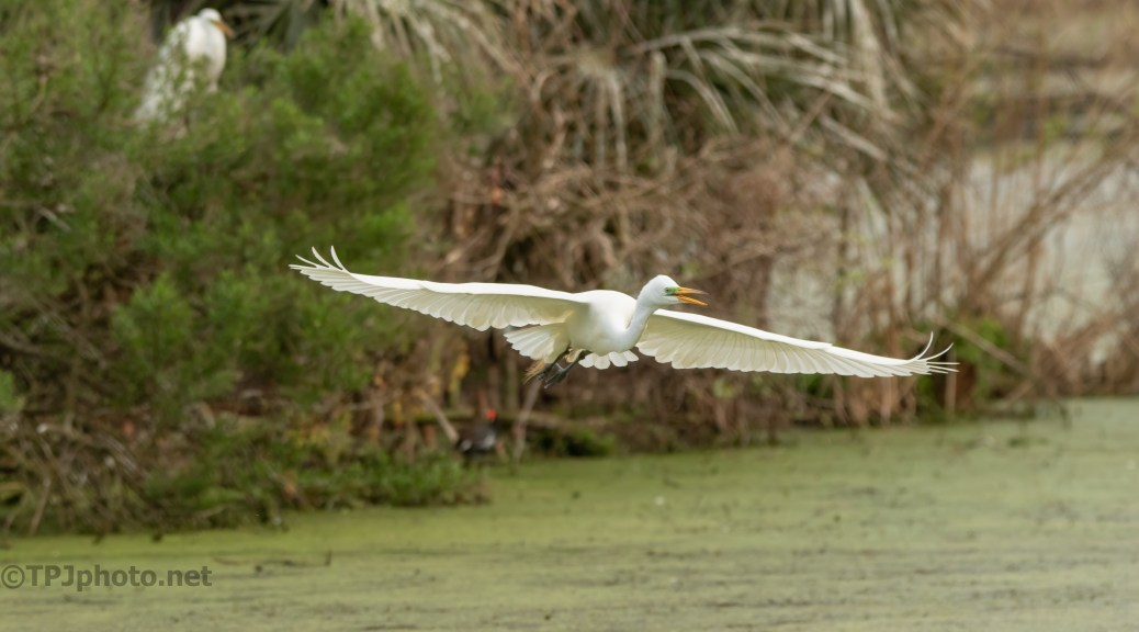Egret In A Thick Swamp
