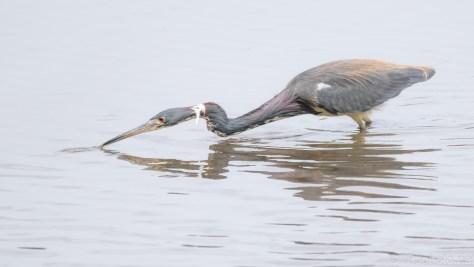 He Didn't Miss, Tricolored Heron