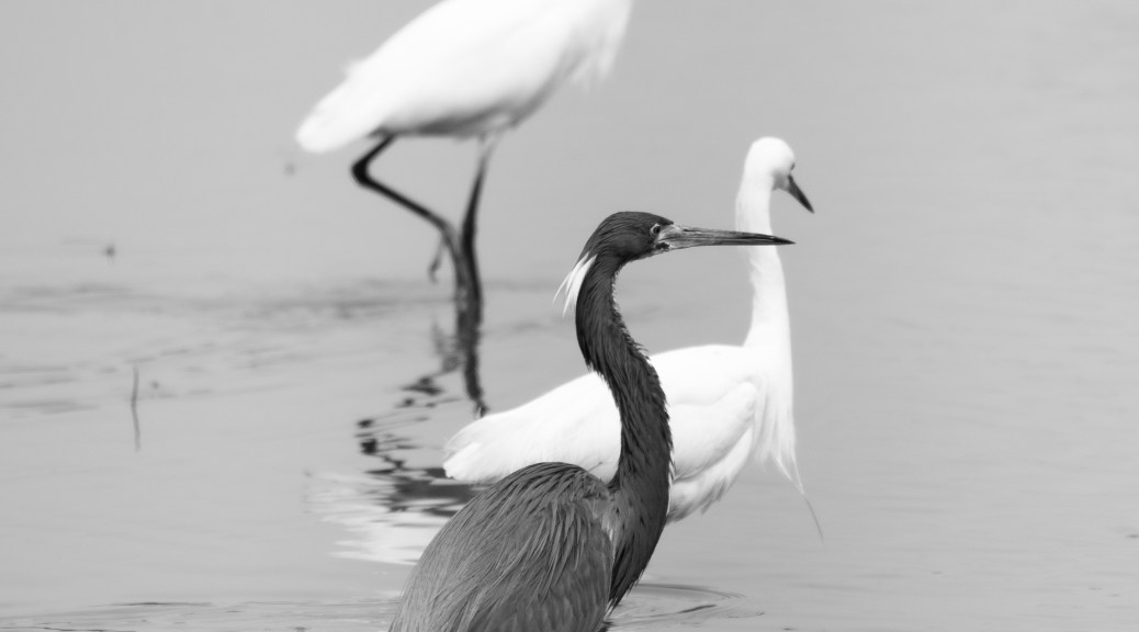 Tricolored Heron With Snowy Egrets