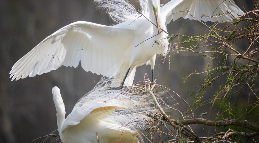 Domestic Scene, Egrets
