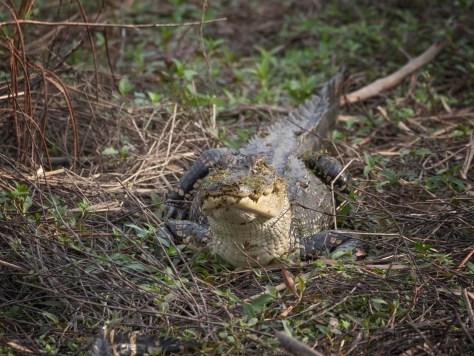 Alligators In Cane (2)