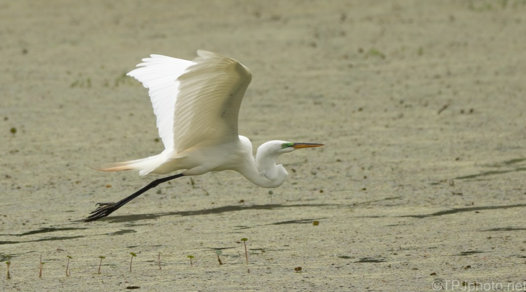 Flying At The Surface, Egret