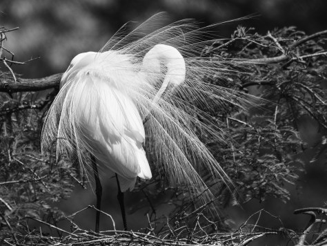Bridal Feathers, Black And White