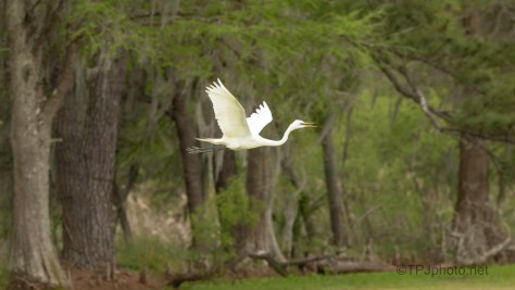 Great Egret - Swamp