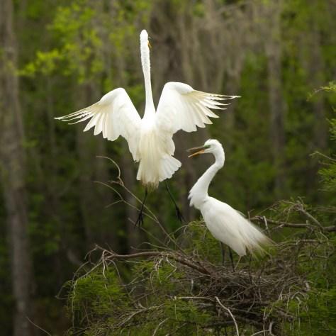 Random Great Egrets