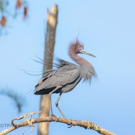 Annoyed Little Blue Heron