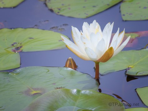 Lily, Pads, And A Hitch Hiker