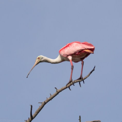 Roseate Spoonbill Hanging Out