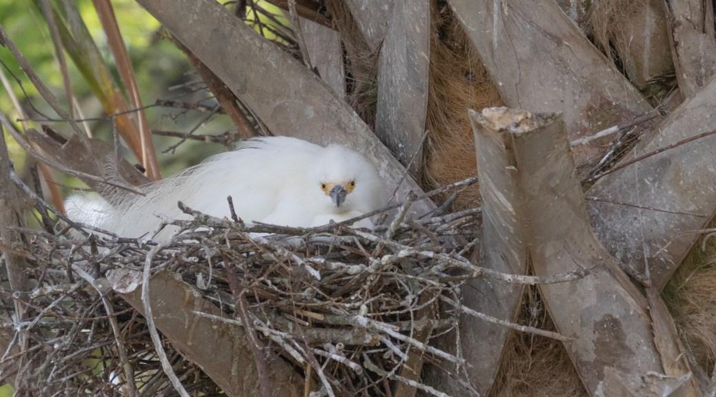 Maternity Ward, Egrets