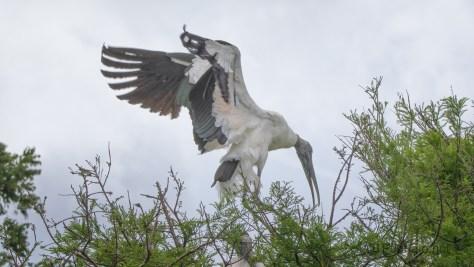 Wood Stork Nesting