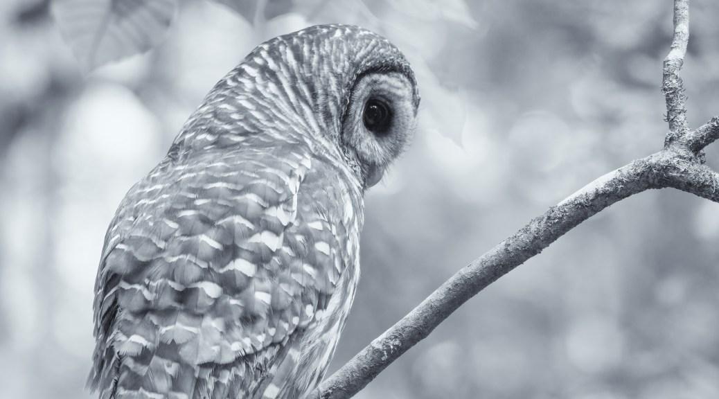 Monochrome - Owl