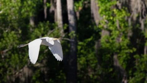 Flight, Great Egret