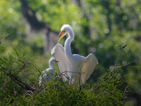 Time For The Kids, Great Egret
