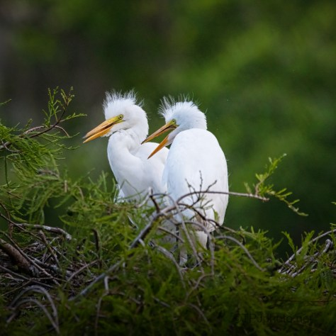 Little Ones Waiting For Food. Egrets