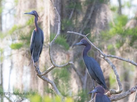 A Few Little Blue Herons